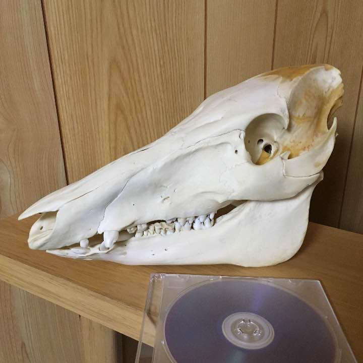 イノシシ 骨格