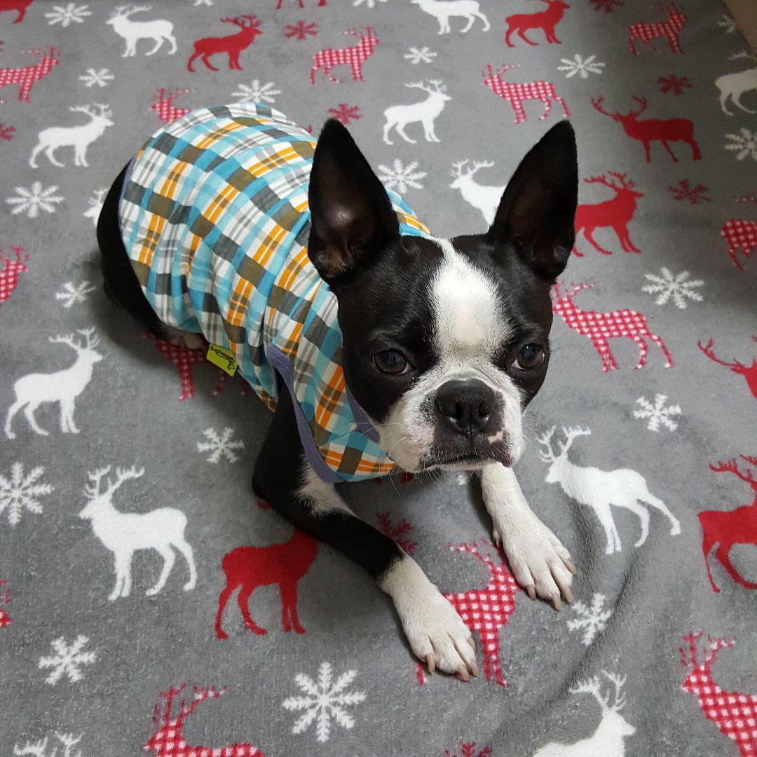 ボストンテリア 犬服