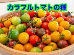 """Thumbnail of """"カラフル ミニトマトの種 40粒"""""""