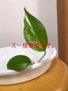 "Thumbnail of ""モンステラ 斑入り"""