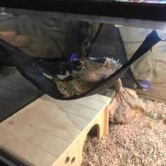 """Thumbnail of """"フトアゴヒゲトカゲにピッタリ爬虫類用のハンモック"""""""