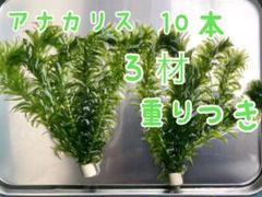"""Thumbnail of """"アナカリス10本"""""""