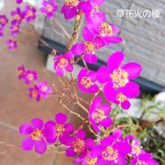 "Thumbnail of ""60)草花火の種"""