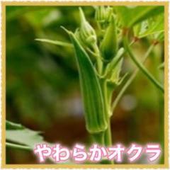 "Thumbnail of ""8粒 オクラ【野放し・手間いらず】タネ"""