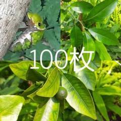 """Thumbnail of """"【100枚】柑橘類(金柑、夏みかんなど)の葉 アゲハ蝶の幼虫の餌"""""""