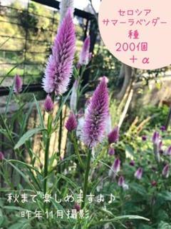 """Thumbnail of """"シャロン ❁ セロシア ❁ サマーラベンダー  種 200粒 ♫"""""""