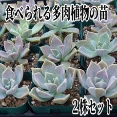 """Thumbnail of """"食べられる多肉植物✢抜き苗 大 2株✢b4_6"""""""