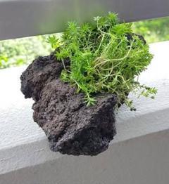 """Thumbnail of """"溶岩石 鉢 植物"""""""