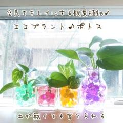 "Thumbnail of ""【簡単!癒し】空気をキレイにする観葉植物♪エコプラント❤ポトス&ぷよぷよボール"""