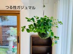 """Thumbnail of """"つる性ガジュマルの苔玉 ハンギング 観葉植物"""""""