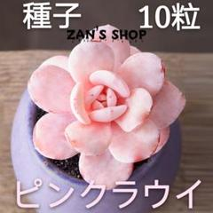 """Thumbnail of """"多肉植物 種10粒 ピンクラウイ"""""""