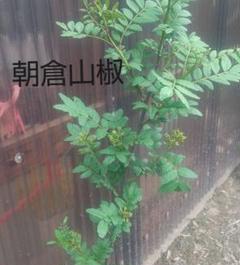 "Thumbnail of ""朝倉山椒  苗  75cm"""