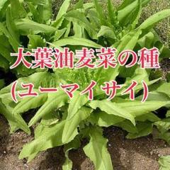 "Thumbnail of ""大葉油麦菜 種 20粒 ユーマイサイ 珍しい野菜 美味しい 希少 育てやすい"""