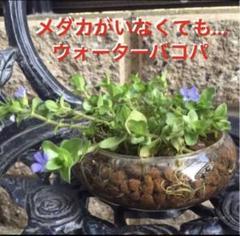"""Thumbnail of """"77☆メダカがいなくても❣️ウォーターバコパ〜☆"""""""