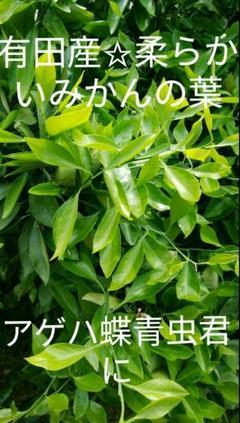 "Thumbnail of ""有田産☆柔らかいみかんの葉アゲハ蝶青虫君に100枚以上"""