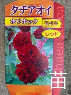 "Thumbnail of ""八重咲きホリホック レッド 抜き苗"""