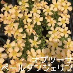 "Thumbnail of ""☆値下げ☆レア☆オキザリス  PaleTangerine 球根 5個"""