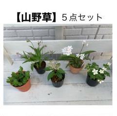 """Thumbnail of """"山野草 5点セット売り お花 花 匿名発送 鉢ごと"""""""