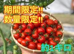 """Thumbnail of """"【数量限定販売】ミニトマト プチトマト トマト 即日発送"""""""