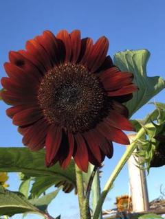 "Thumbnail of ""2種『20粒』赤い向日葵、深いワインレッドの向日葵の種 とチョコレート色の向日葵"""