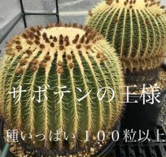 """Thumbnail of """"◆サボテンの王様 金鯱 キンシャチ 種いっぱい◆"""""""
