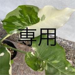 "Thumbnail of ""専用 クワズイモ  斑入り 2本セット ポリポットのまま"""