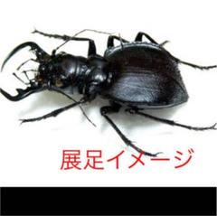 "Thumbnail of ""Manticora latipennis 52mm 訳あり特価"""