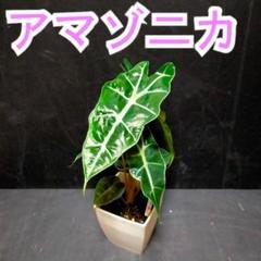 """Thumbnail of """"アロカシア【アマゾニカ】"""""""