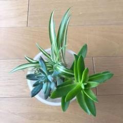 "Thumbnail of ""ひまつり 折り鶴ラン 多肉植物 観葉植物"""