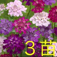 "Thumbnail of ""イベリス キャンディータフト 3苗"""