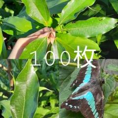 "Thumbnail of ""【100枚】アオスジアゲハ 幼虫の餌 クスノキ、シロダモ、ヤブニッケイの葉"""