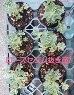 "Thumbnail of ""多肉植物…✨レア✨ローズセダム抜き苗"""