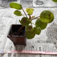"Thumbnail of ""ペペロミア・オイデス"""