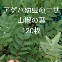 "Thumbnail of ""アゲハ幼虫のエサ 山椒の葉 120枚"""