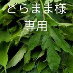 """Thumbnail of """"どらママ様専用 蚕の幼虫用 桑の葉 500グラム"""""""