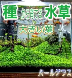 """Thumbnail of """"最安値!プランツシード 種から育てる水草  大きい葉10g"""""""