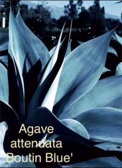 "Thumbnail of ""【希少】 Agave attenuata 'Boutin Blue' ↑立ち木↑"""