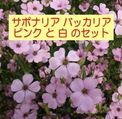 "Thumbnail of ""残り11セット サポナリア バッカリアの種(NJ)【ピンク+白・各1袋】説明書付"""