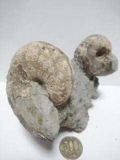 "Thumbnail of ""アンモナイト化石です。"""