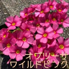 "Thumbnail of ""☆値下げ☆超レア☆オキザリス オブツーサ WildPink 球根 5個"""