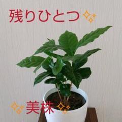 """Thumbnail of """"コーヒーの木  4本セット  鉢植え付き"""""""