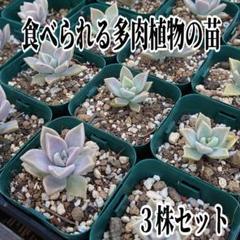 "Thumbnail of ""食べられる多肉植物✢抜き苗 中 3株✢a2_3"""