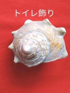 "Thumbnail of ""サザエ 貝 貝殻 貝がら 海 自然 ナチュラル インテリア 置物 飾り  トイレ"""