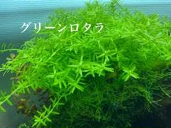 "Thumbnail of ""グリーンロタラ 20本"""