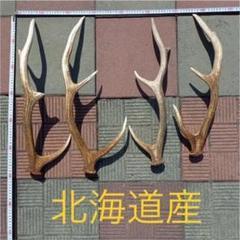 "Thumbnail of ""【8/10まで期間限定値下げ】鹿の角 エゾシカ"""