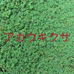"Thumbnail of ""アカウキクサ 60グラム"""