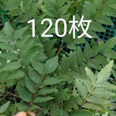"""Thumbnail of """"アゲハ蝶々幼虫のエサ 山椒の葉120枚"""""""