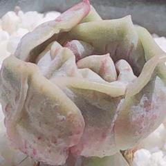"Thumbnail of ""28 SALE!!  レア 多肉植物 ラブリーローズ錦 血斑 極上斑♡"""
