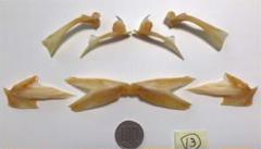 "Thumbnail of ""ハマチ(75cm) 骨格標本組み立てキット・組立説明書付き"""