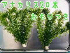 """Thumbnail of """"アナカリス20本"""""""
